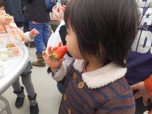 摘んだ苺を食べる寅ちゃん